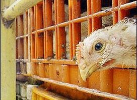 美国本周在华府主办禽流感国际会议