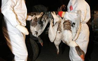 发现禽流感的土耳其村庄被隔离