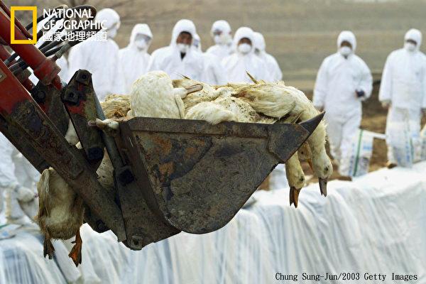 21世纪多数流感病毒株源自于水禽,从东南亚起源、繁殖、突变,因为当地的人类、家禽、猪只比邻而居。(国家地理频道提供)