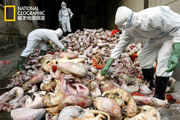 流感病毒株鲜少从某个物种传到另一个物种身上,但是猪只是最佳带原者,因为它们会感染禽流感与人类流感。(国家地理频道提供)
