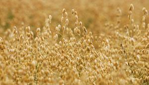 燕麦可以降低心血管疾病的风险