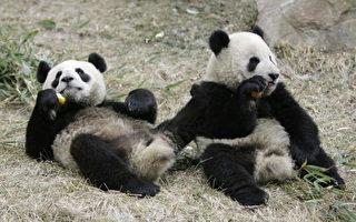 熊貓學台灣方言? 小心北京統戰