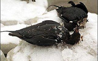 愛沙尼亞海面浮油污染恐使三萬五千海鳥死亡