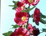 【花与花的故事】万紫千红 、堂皇壮观的蜀葵(上)