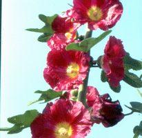 【花與花的故事】萬紫千紅 、堂皇壯觀的蜀葵(上)