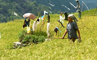 菲律宾国宝梯田濒危 竟是蚯蚓惹的祸