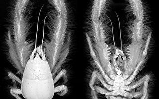 科学家在太平洋深处发现毛绒绒怪虾