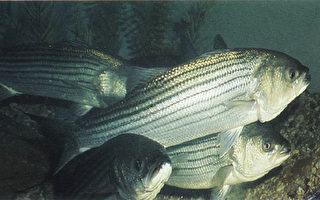 马州政府对鲈鱼感染细菌一事做声明