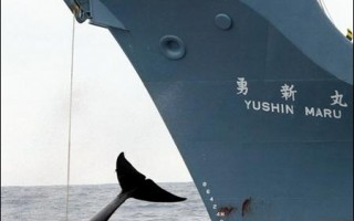 日本无视抗议 展开捕鲸行动