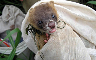 黃鼠狼現蹤關渡自然公園 寫下記錄