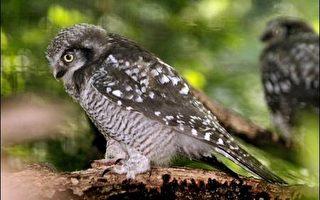 荷蘭兩貓頭鷹死亡 可能不是禽流感導致