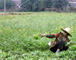廣東菜農在整理菜地,2006年1月18日法新社照片