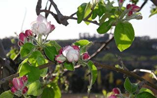 新诗:春天里的苹果花