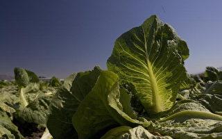 疑似感染大腸桿菌綠葉萵苣全美回收