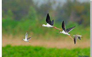 维护国际级鳌鼓湿地自然资源