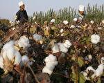 用经贸做胁迫 中共下令停购澳洲棉花