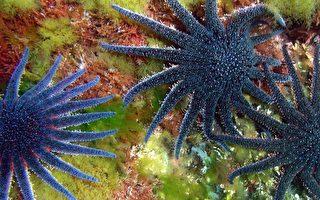 極度稀有且色彩鮮豔 19腿向日葵海星被捕獲