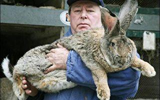 巨兔大如小猪 成北韩人民盘中飧