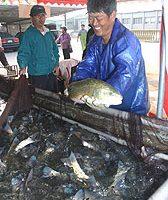金門水試所紅鼓魚上市  新春辦免費垂釣活動