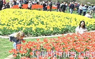 疫情下 加拿大鬱金香節國慶日今年改在線慶祝