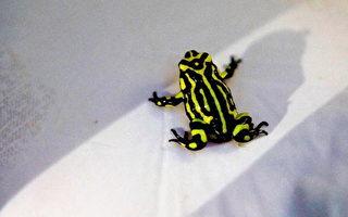 組圖:澳洲動物園將耗資七萬澳元拯救歡蛙