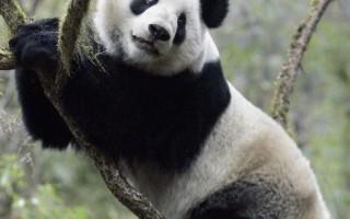 专家检讨野放熊猫死因