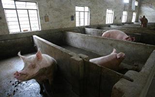 北京秘養「奧運豬」 民眾嘲諷
