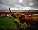獸醫檢查口蹄疫情時將母牛趕出農舍。(圖片來源:Jeff J Mitchell/Getty Images)