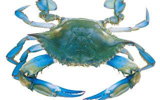 切萨皮克湾螃蟹数量正在锐减