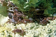 郑明修研究龟山岛海底怪方蟹何以防毒解毒