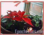 养在阳台上的圣诞红,就像冬天里的温暖阳光。(摄影:杨美琴/大纪元)