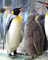 网路票选 北市动物园国王企鹅命名黑噜噜