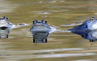 超級病毒蠢動 青蛙恐大滅絕