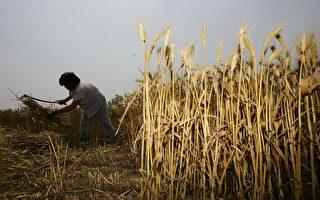 【現場視頻】中國農民種小麥 一年僅賺50元