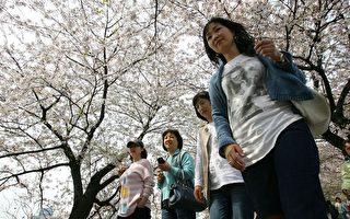 組圖:韓國首爾櫻花盛開 美不勝收