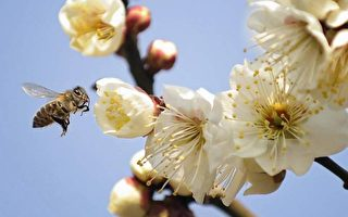 逾36%美国商业蜂巢死亡 将影响粮食收成