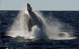 南澳觀賞鯨魚季節已開始
