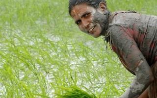 破解稻米吸毒基因穀物含砷問題可望解決