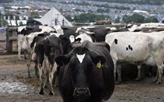 母牛的力量:排泄物變能源 可發電可減炭