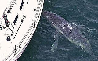 把游艇当妈妈 迷途小鲸命难保