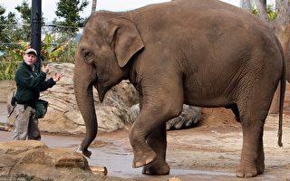 4歲亞洲象1年成功戒掉毒癮
