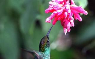 组图:世界上最小的鸟 蜂鸟