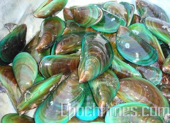 孔雀开屏般鲜艳翠绿的孔雀蛤(图:彩霞/大纪元)