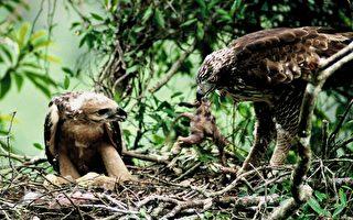 棲地遭破壞  台灣最大猛禽熊鷹剩500隻