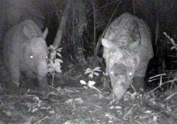 印尼發現幼爪哇犀牛  為免於絕種添希望