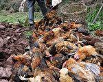 中國在一月份有多起禽流感致死病例,但到2月份就嘎然停止,引起一些公共衛生專家的關注,認為中國衛生部門可能錯失,甚至隱瞞禽流感疫情。(Getty-Images)