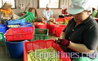 芒果青上市 加工品國內外正夯