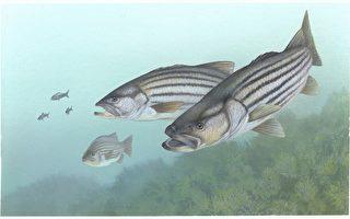 切萨皮克湾汞含量高 鲈鱼不宜食用