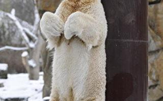 爭所有權 柏林動物園鉅款留下北極熊克努特