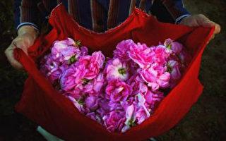 保加利亚有着330年制作玫瑰香薰油的传统历史。(Dimitar Dilkoff/AFP/Getty Images)